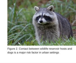 Leptospirosis Merial Raccoon